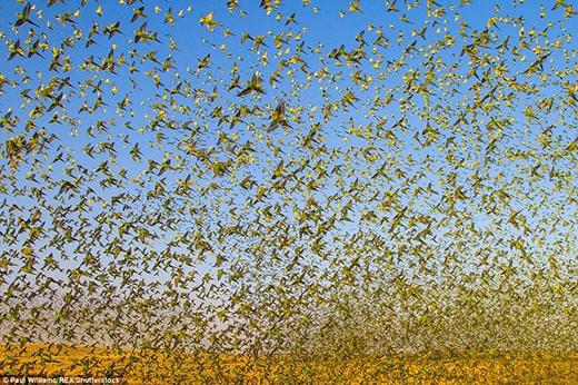 Bầy vẹt hoảng loạn vỗ cánh mong tìm được chỗ uống nước và tự tạo thành một đám mây khổng lồ nhằm bảo vệ chúng khỏi những kẻ săn mồi. (Ảnh: Paul Williams)