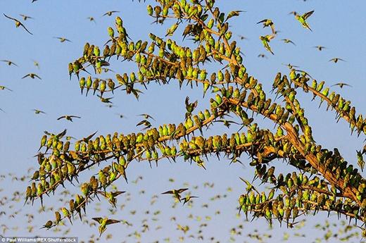 Nhìn đâu đâu cũng thấy những con vẹt đuôi dài xanh lá. (Ảnh: Paul Williams)