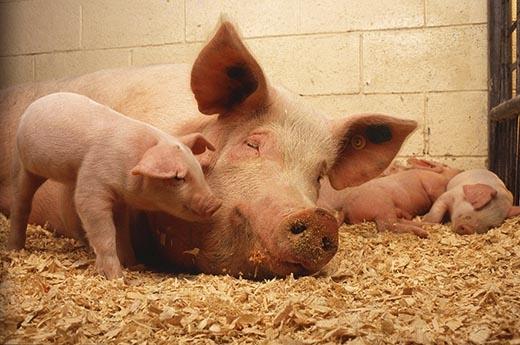 Không có cái cảnh bình yên này đâu, cuộc sống trong trang trại nhân giống lợn là cả địa ngục trần gian.