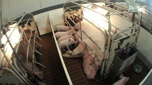Bị đưa vào ổ cho lợn con bú.