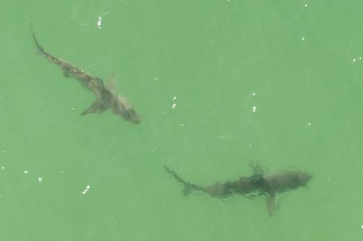 Cận cảnh 2 trong số 5 con cá mập. (Ảnh: Dailystar)