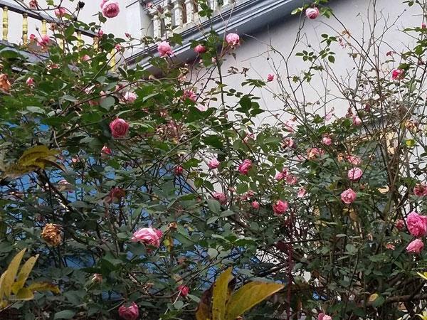 Gốc hồng cổ nhà chị Dung chi chít những hoa, thu hút sự chú ý, và được nhiều người trầm trồ khen ngợi... (Ảnh: Internet)