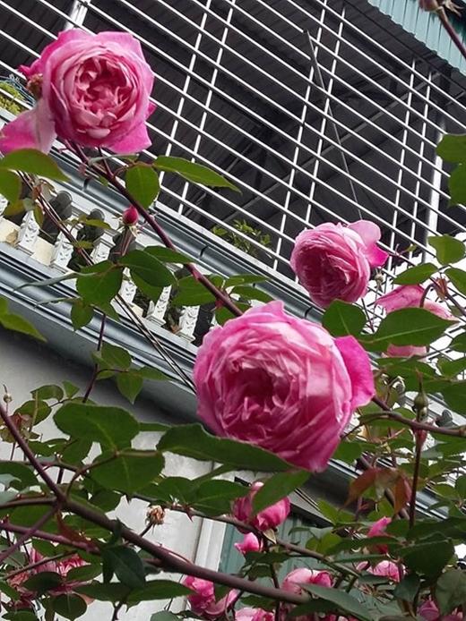 Ngây ngất cây hồng trên 20 năm tuổi nở hoa to bằng miệng chén