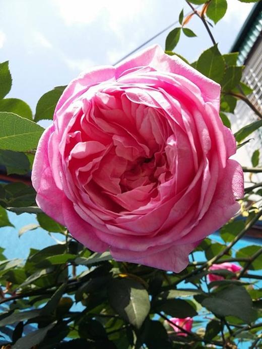 Gốchồng cổ nhà chị Dungcánh dày, hoa có thể to bằng miệng chén nhỏ, tỏa hương thơm ngát mát lòng. (Ảnh: Internet)