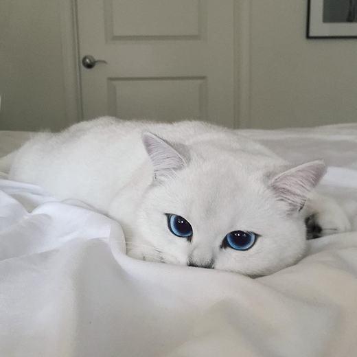 Chú mèo có đôi mắt xanh được ví là đẹp nhất thế giới.(Ảnh: Bored Panda)