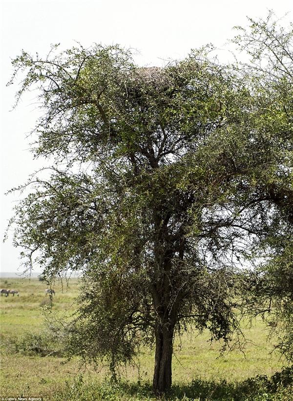 Bức ảnh này được chụp ởNdutu, Tanzania. Chính màu lông đốm đặc trưng của loài báo đã giúp chú báo này lẩn trốn một cách tài tình vào tán cây rậm rạp.(Ảnh: Julia Sundukova)