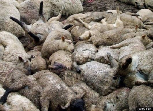 """Những con cừu bỗng nhiên """"tự sát hàng loạt"""" tại Thổ Nhĩ Kì"""