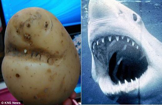 Đây là củ khoai tây được phát hiện bởi một người đàn ông có tên Lawrence Welham,67 tuổi, sống tại Norfolk, Anh. Ông đã phát hiện củ khoai tây có hình giống cá mập trắng khi đang mua sắm trong siêu thị địa phương tên Downham. (Ảnh: Internet)