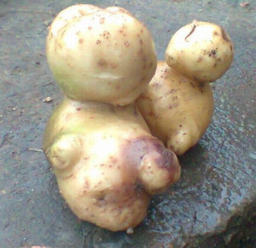 Còn đây là củ khoai tây có dáng như 2 mẹ con đứng sát nhau. Được biết, nó là củ khoai trồng trong vườn nhà anh Nguyễn Văn Chín, 30 tuổi, ở xóm 7, xã Nghĩa Bình, huyện Tân Kỳ, Nghệ An. (Ảnh: Internet)
