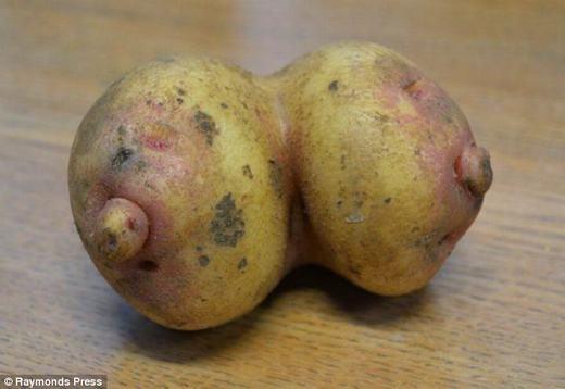 Còn đây là củ khoai tây hình bầu ngực phụ nữ. Nó đã được phát hiện bởi mộtnông dân làm việc tại trang trại Farndon Fields Farm gần Market Harborough, Leicestershire, nước Anh trong khi đang phân loại loại củ này. (Ảnh: Internet)