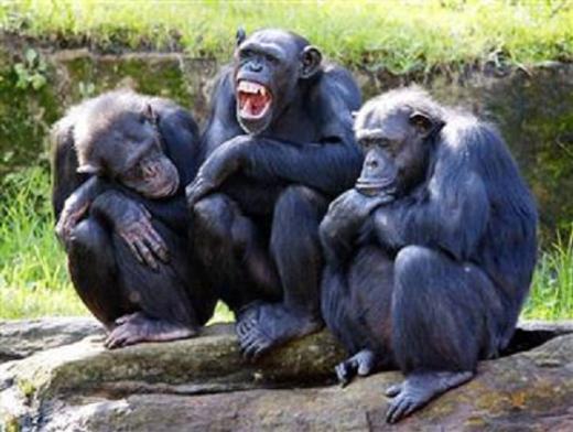Giải Ig Nobel 2012 ở hạng mục Giải phẫu thuộc về Frans de Waal (Hà Lan) và Jennifer Pokorny (Mỹ). Nhóm đã chứng minh được rằng, tinh tinh có khả năng nhận diện các con tinh tinh khác dù chỉ cần đứng phía sau nhìn đồng loại. (Ảnh: Internet)