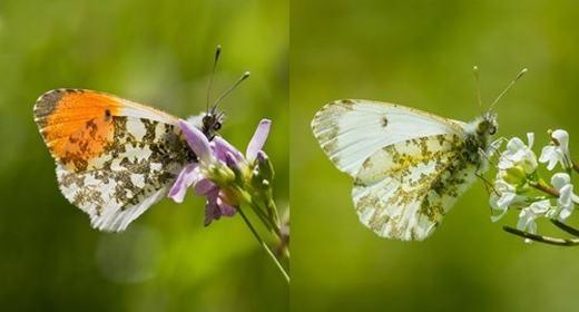 """Còn đây là bướm Orange tip – một loài bướm tuyệt đẹp. Từ hình ảnh có thể thấy, bướm đực sở hữu """"nhan sắc"""" hơn hẳn con cái, đặc biệt là màu cam nổi bật. (Ảnh: Internet)"""