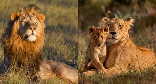 Sư tử đực châu Phi cũng có bờm khá dày, trông rất dũng mãnh và nổi bật trên đồng cỏ. Trong khi đó, con cái gần như tiêu biến bộ phận này. Các nhà khoa học cho biết, bờm của sư tử đực chủ yếu để thu hút bạn tình. (Ảnh: Internet)