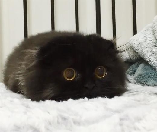 Chú mèo nổi bật với cặp mắt đen láy. (Ảnh: Bored Panda)