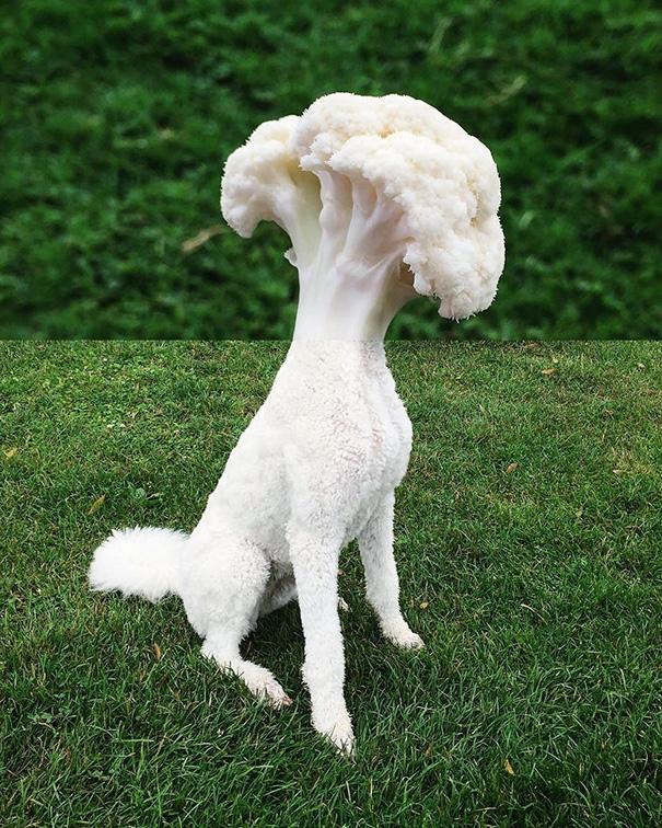 Đây là chú chó hay là bông cải? (Ảnh: Internet)