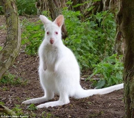 Còn đây là chú chuột túi 4 tháng tuổi, hiện đang sinh sống trong vườn thú Linton, Cambridgeshire, Anh. Chú bị bạch tạng hoàn toàn, khiến cơ thể có màu trắng và đôi mắt màu đỏ đặc trưng. (Ảnh: Internet)