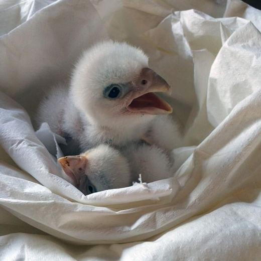 Hai chú chim cắt bị bạch tạng này được phát hiện vào tháng 2/2016 bởi sự hợp tác của cảnh sát hai nước Chile và Brazil. Trước đó, nó thuộc về kẻ buôn lậu trứng chim cắt người Ireland Jeffrey Lendrum (bị bắt giữ sau đó). Theo ước tính, hai chú chim này có giá lên tới 80.000 đô la (gần 1,8 tỉ đồng). (Ảnh: Internet)