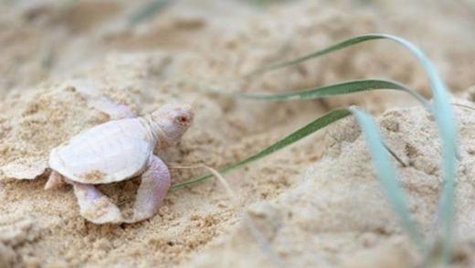 Một chú rùa con bị mắc chứng bạch tạng cực hiếm gặp đã được nhìn thấy trên bãi biển Castaway, thuộc bang Queensland, Úc.Rùa bạch tạng cũng được xem là một trong những sinh vật hiếm gặp trên địa cầu. (Ảnh: Internet)