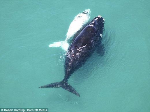 Một chú cá voi bị bạch tạng đang theo mẹ đi kiếm ăn. Được biết, cảnh tượng này được ghi lại tại ngoài khơi bờ biển Nam Phi. (Ảnh: Internet)