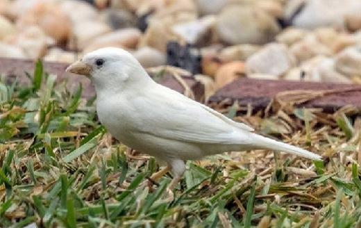 Đây là chú chim sẻ bạch tạng cực hiếm gặp được phát hiện ở Sanctuary Lakes, vùng ngoại ô Point Cook, phía tây nam thành phố Melbourne. Được biết, chú chim này mới 7 tháng tuổi. (Ảnh: Internet)