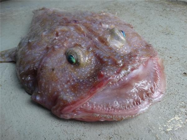 Sinh vật này có một đôi mắt lồi màu xanh và một cái miệng rộng cùng rất nhiều chiếc rang sắc nhọn nhìn vô cùng đáng sợ.(Ảnh: Internet)