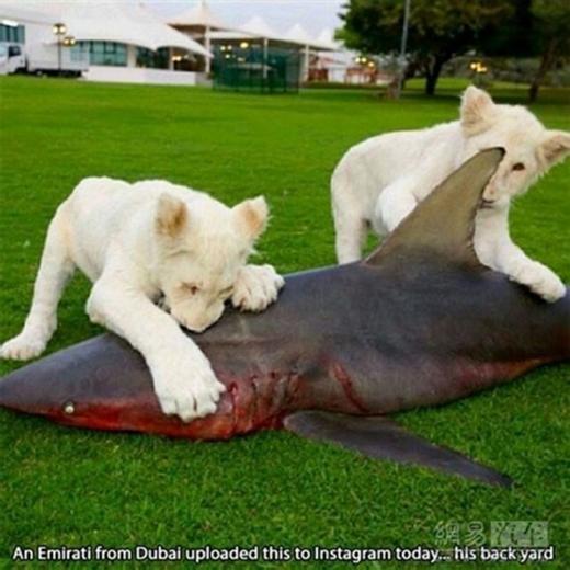 Hai chú sư tử trắng này được chủ cưng đến độ sắm hẳn một con cá mập cho thưởng thức. (Ảnh: Internet)