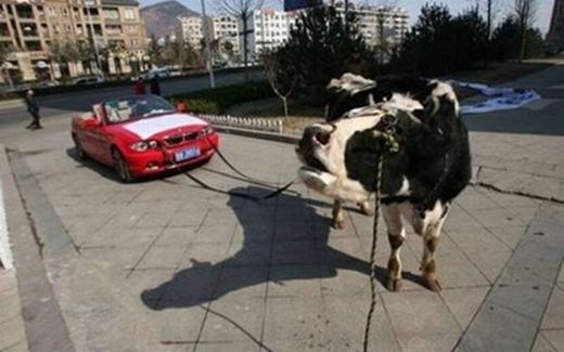 Phong cách mới là: bên cạnh siêu xe còn phải có cả... siêu bò. (Ảnh: Internet)