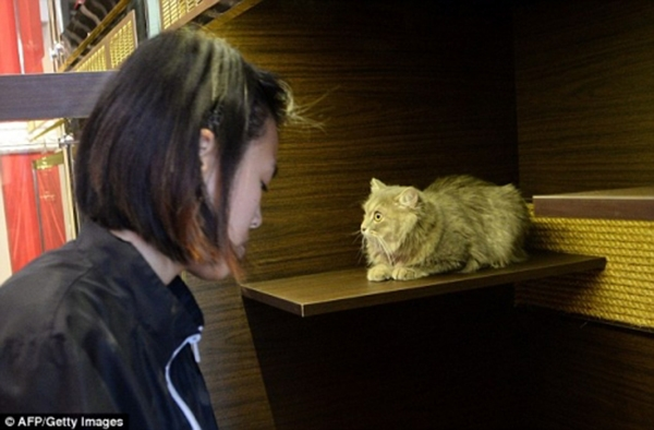 Một chú mèo đang chuẩn bị đểnhân viên spa chăm sóc nhan sắc của mình. (Ảnh: Internet)
