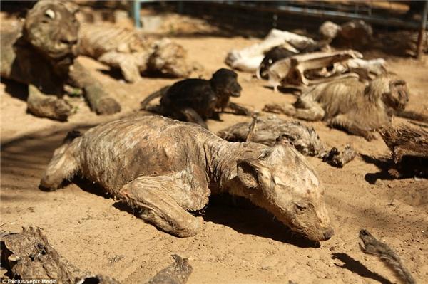 Rất nhiều động vật ở Gaza đã chết do bị bỏ rơi và bỏ đói kể từ khi cuộc chiến giữa Israel và Palestine nổ ra. (Ảnh: Daily Mail)