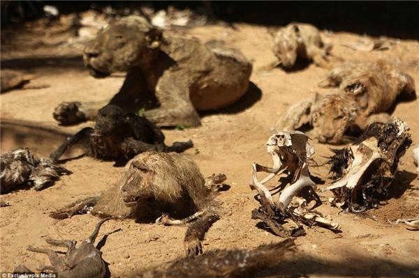 Một con hổ, khỉ và sư tử đã chết nằm bên cạnh xương của vài loài động vật cùng chung cảnh ngộ ở đây.(Ảnh: Daily Mail)