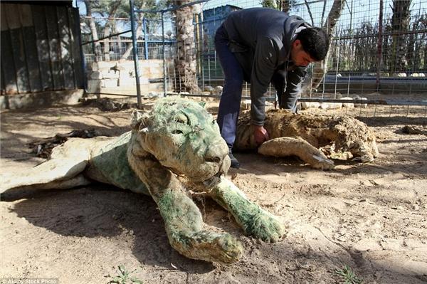Trước tình hình đó, ông Awaida bắt đầu áp dụng kĩ thuật nhồi bông thô sơ trên động vật đã chết tại vườn thú sau khi cuộc chiến Gaza bắt đầu.(Ảnh: Daily Mail)