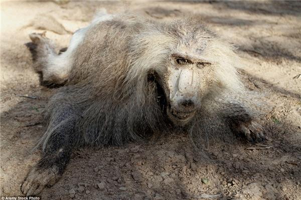 Xác ướp của khỉ mặt chó trong sở thú Khan Younis.(Ảnh: Daily Mail)