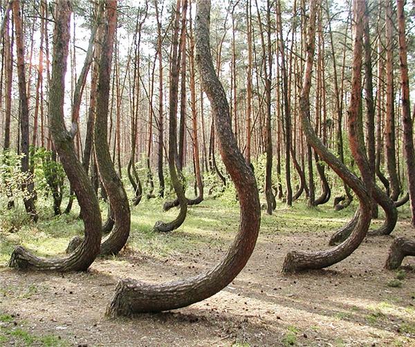 Rừng thân cong ở Tây Pomerania, Ba Lan. (Ảnh: Reddit)