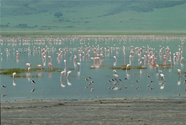 ...hay chim hồng hạc quý hiếm. (Ảnh: Internet)