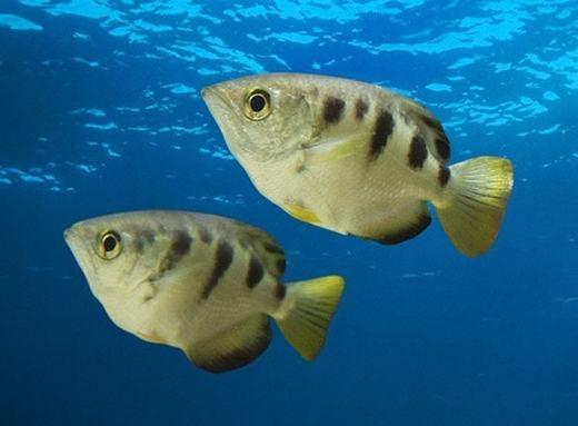 Loài cá này có vẻ ngoài bình thường... (Ảnh: Internet)