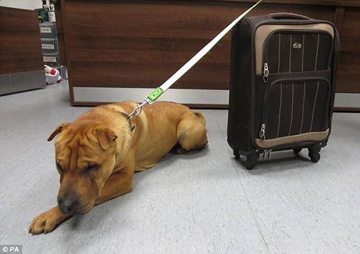 """Chú chó Kai nằm buồn rười rượi bên chiếc vali chứa tất cả """"gia tài"""" của mình. (Ảnh: Internet)"""