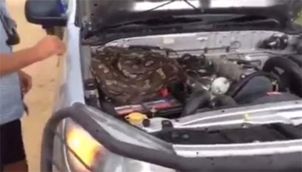 Con trăn nằm cuộn tròn trên động cơ xe. (Ảnh: Chụp màn hình)