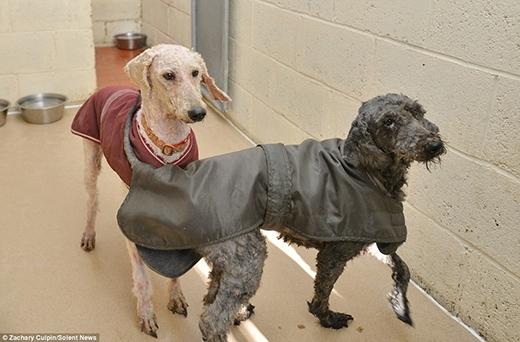 Sau nhiều giờ đồng hồ được vệ sinh và cạo lông thì chúng đã trở lại hình dạng đúng của mình. (Ảnh: Internet)