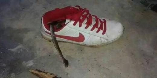 """Rắn là loài yêu thích những đôi giày và thường chui vào đó """"nghỉ ngơi"""". (Ảnh: Internet)"""