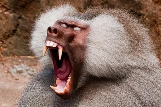 Chắc chắn bạn sẽ liên tưởngngay đến quảđầu của chúkhỉ này. (Ảnh: Internet)