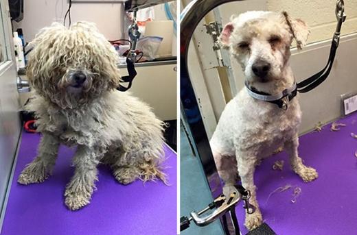 Chỉ sau khi được cắt lông người ta mới nhận ra đôi mắt của chú chó này gần như đã bị mù. (Ảnh: Internet)