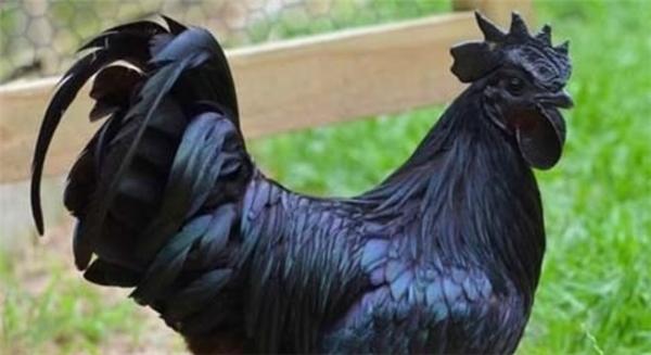 Mắt chữ O, miệng chữ A ngắm những chú gà độc nhất trên thế giới