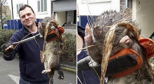 Cận cảnh con chuột khổng lồ. (Ảnh: Mirror)