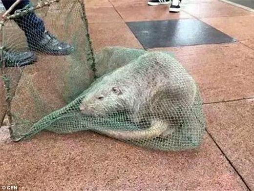 Con chuột bị bắt trước đó tại Trung Quốc. (Ảnh: CEN)