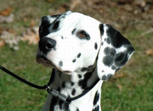 Chó đốm (Dalmatian) có vẻ bề ngoài khá dễ thương với các đốm trên cơ thể. Tuy nhiên, bạn đừng để vẻ bề ngoài đó đánh lừa. Trên thực tế, Dalmatian khá hung dữ, trước đây thường được huấn luyện để hỗ trợ săn bắn và chiến đấu. Đây cũng là loài chó rất trung thành và dũng cảm nếu được nuôi từ nhỏ.