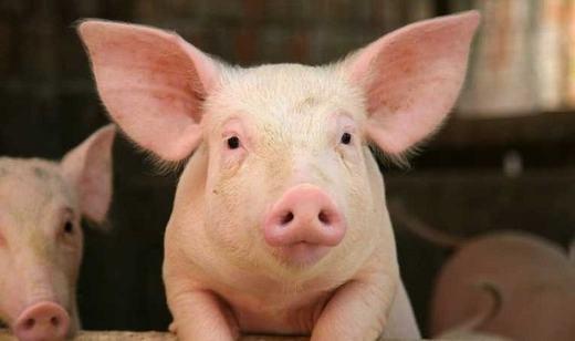 Giác mạc lợn... (Ảnh: Internet)