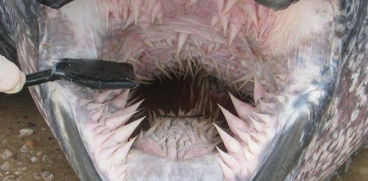 Tuy rùa dakhông có răng, nhưng đừng dại gì mà chạm vào miệng. (Ảnh: Internet)