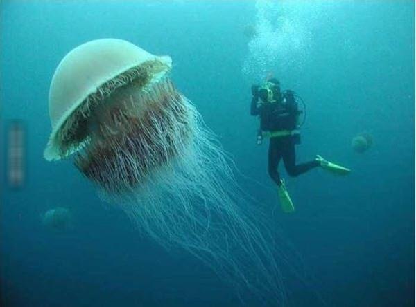 Cá voi còn lâu mới dàibằng sứa bờm sư tử. (Ảnh: Internet)