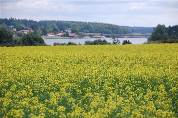 Thụy Điển ngập trong sắc vàng hoa cải vào mùa xuân.(Ảnh: Internet)