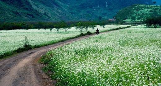 Hoa cải trắng đẹp tinh khôi tại Mộc Châu.